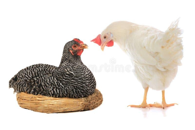 γκρίζα κότα στοκ εικόνα