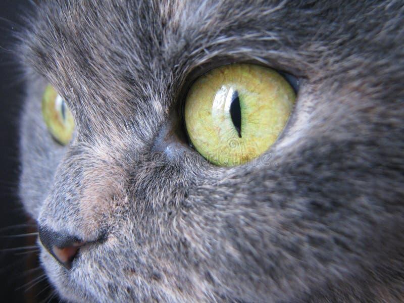 Γκρίζα μακρο φωτογραφία ματιών γατών ` s στοκ φωτογραφίες