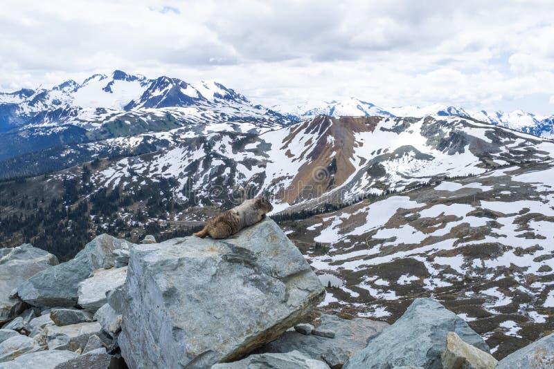 Γκρίζα μαρμότα που απολαμβάνει τη θέα σχετικά με το βουνό συριστήρων στοκ εικόνες