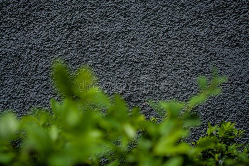 Γκρίζα μονοφωνική υπόβαθρο ή σύσταση με την τραχύτητα Μπλε σκιά Ασβεστοκονίαμα σε έναν τοίχο Βεραμάν φύλλα των θάμνων στοκ εικόνες