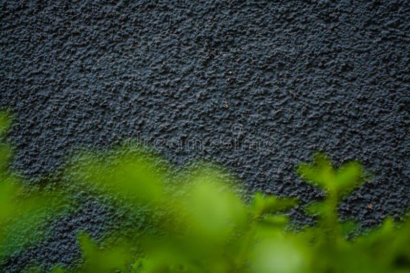 Γκρίζα μονοφωνική υπόβαθρο ή σύσταση με την τραχύτητα Μπλε σκιά Ασβεστοκονίαμα σε έναν τοίχο Βεραμάν φύλλα των θάμνων στοκ εικόνα