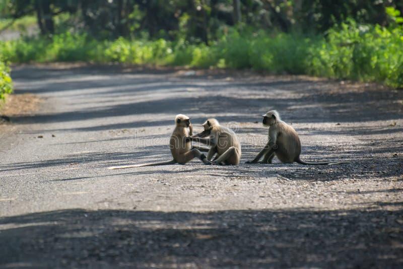 Γκρίζα οικογένεια Langur στο δάσος στοκ φωτογραφία με δικαίωμα ελεύθερης χρήσης