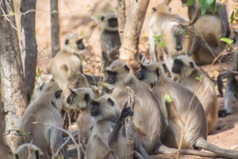 Γκρίζα ομάδα Langur στο δάσος στοκ εικόνες