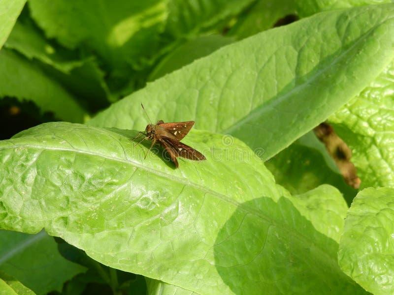 Γκρίζα πεταλούδα στα φύλλα κινεζικών λάχανων στοκ εικόνα με δικαίωμα ελεύθερης χρήσης