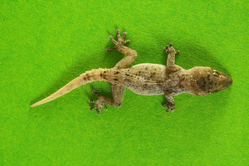 Γκρίζα σαύρα Gecko στοκ εικόνες με δικαίωμα ελεύθερης χρήσης