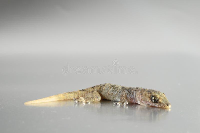 Γκρίζα σαύρα Gecko στοκ φωτογραφία