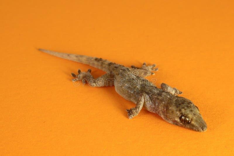 Γκρίζα σαύρα Gecko στοκ φωτογραφίες