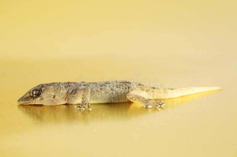 Γκρίζα σαύρα Gecko στοκ εικόνες