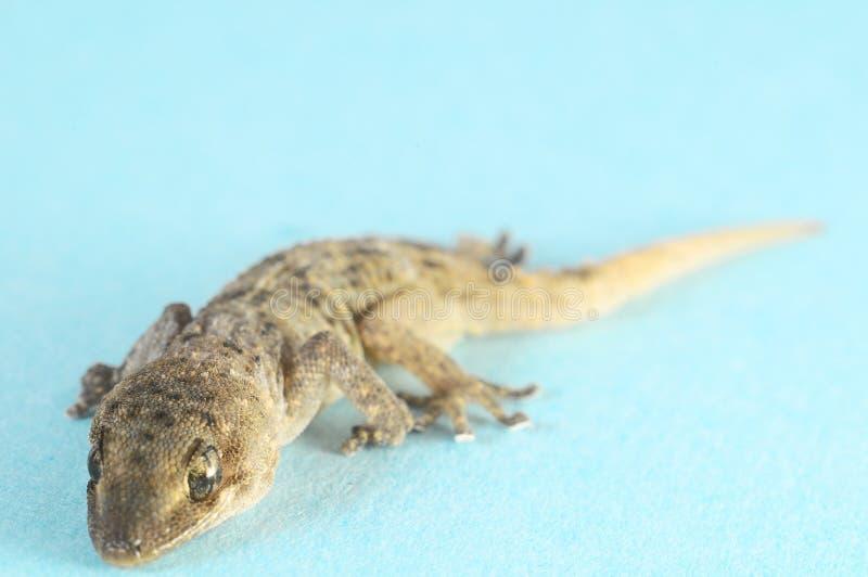 Γκρίζα σαύρα Gecko στοκ εικόνα