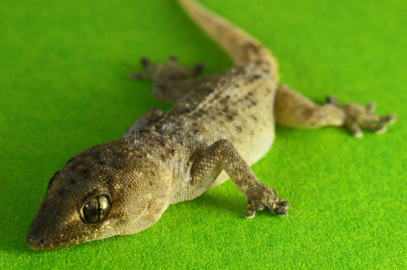 Γκρίζα σαύρα Gecko στοκ φωτογραφίες με δικαίωμα ελεύθερης χρήσης