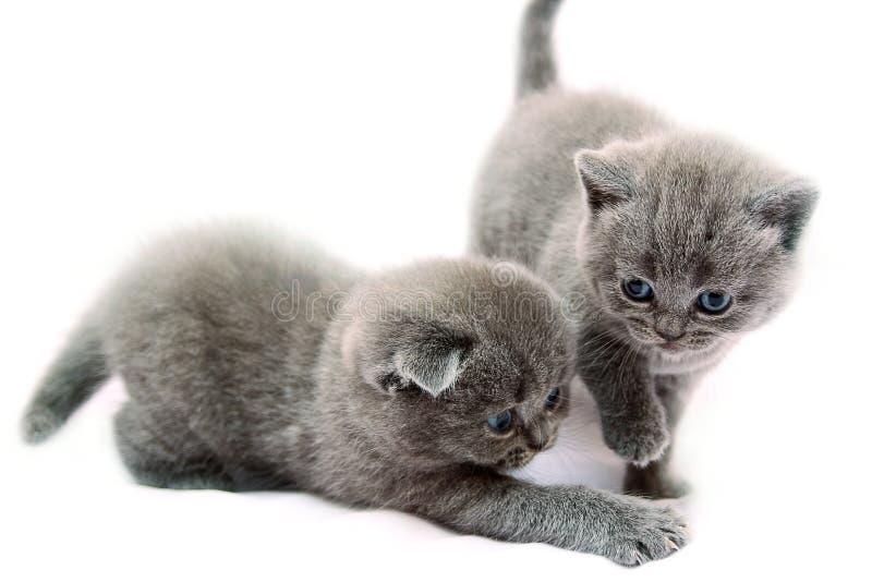 Γκρίζα σκωτσέζικα γατάκια στοκ φωτογραφία με δικαίωμα ελεύθερης χρήσης