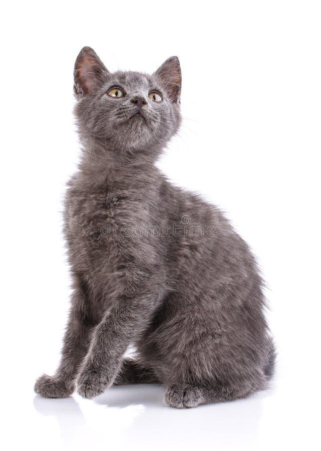 Γκρίζα συνεδρίαση γατών λοξά, που ανυψώνει ένα πόδι η ανασκόπηση απομόνωσε το λευκό στοκ εικόνα με δικαίωμα ελεύθερης χρήσης
