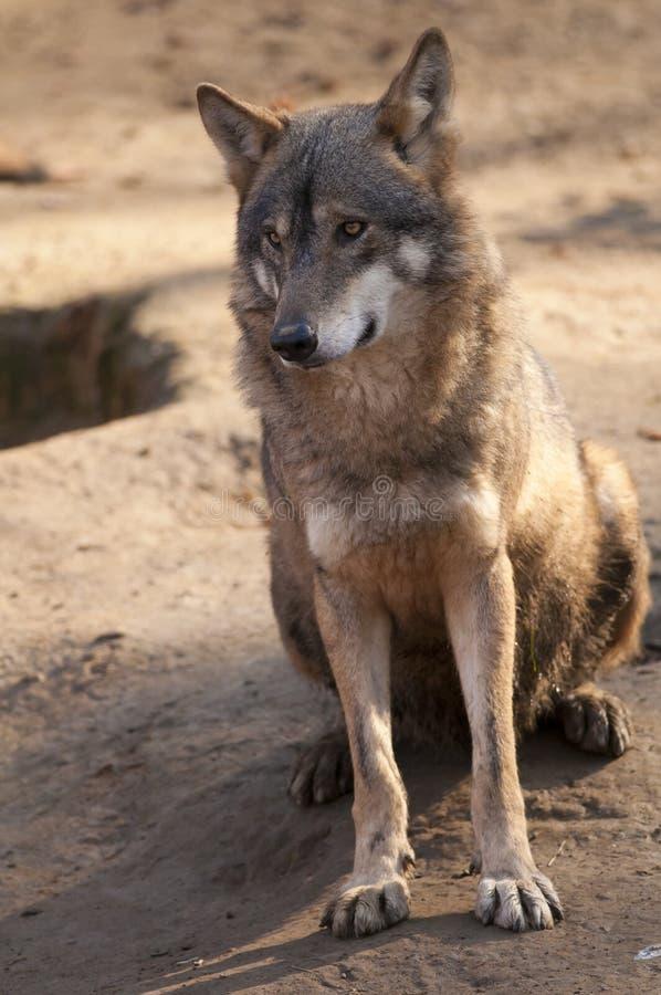 Γκρίζα συνεδρίαση λύκων στοκ εικόνες με δικαίωμα ελεύθερης χρήσης