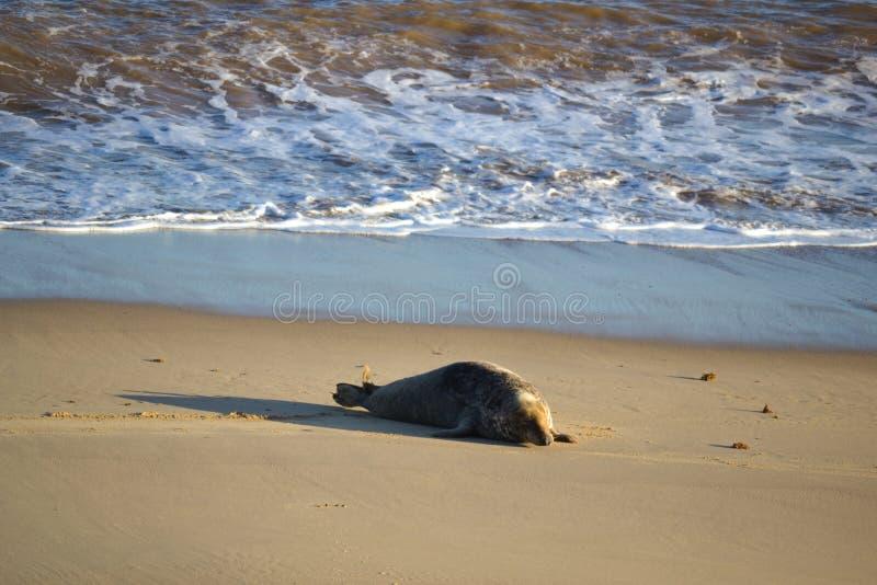 Γκρίζα σφραγίδα στην παραλία στοκ φωτογραφία