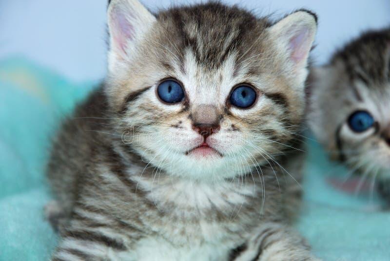 γκρίζα τίγρη γατακιών στοκ φωτογραφία