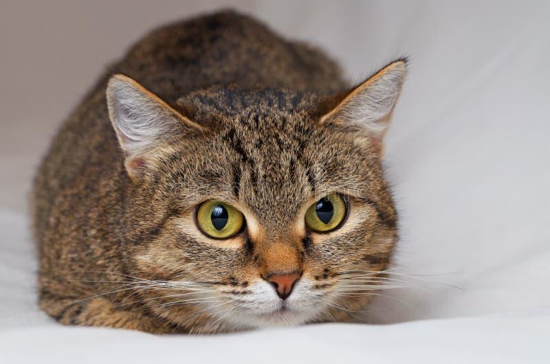 Γκρίζα τιγρέ γάτα στοκ φωτογραφία με δικαίωμα ελεύθερης χρήσης
