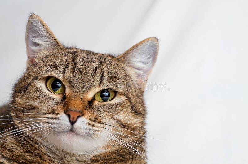 Γκρίζα τιγρέ γάτα στοκ εικόνα με δικαίωμα ελεύθερης χρήσης