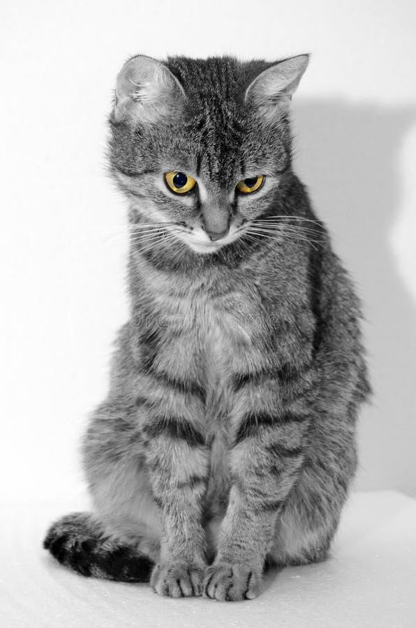 Γκρίζα τιγρέ γάτα στοκ φωτογραφίες
