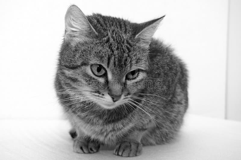 Γκρίζα τιγρέ γάτα στοκ εικόνες με δικαίωμα ελεύθερης χρήσης