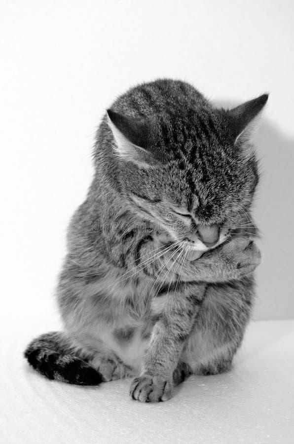 Γκρίζα τιγρέ γάτα στοκ φωτογραφίες με δικαίωμα ελεύθερης χρήσης