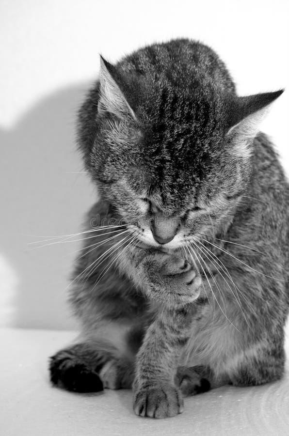 Γκρίζα τιγρέ γάτα στοκ εικόνες