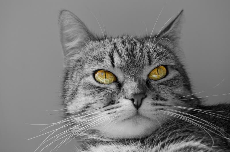 Γκρίζα τιγρέ γάτα στοκ φωτογραφία