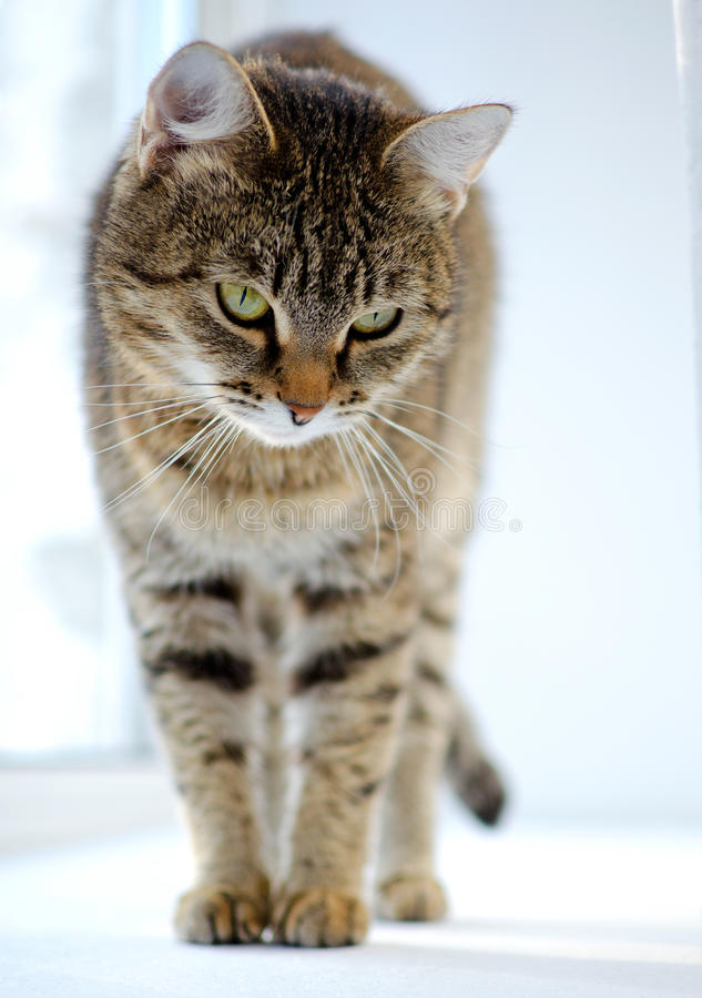 Γκρίζα τιγρέ γάτα στοκ εικόνα