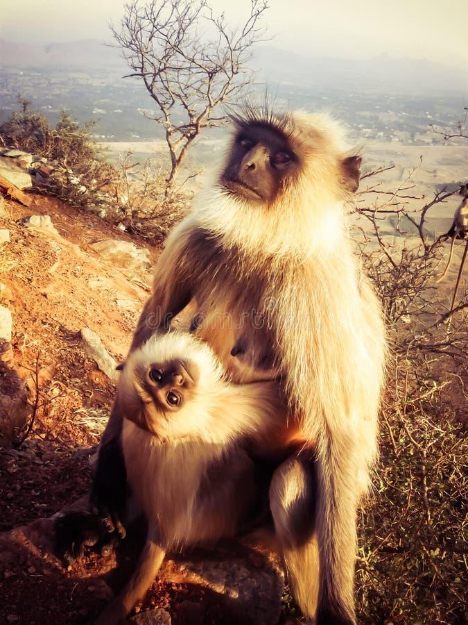 Γκρίζα Langur και μωρό στοκ εικόνες