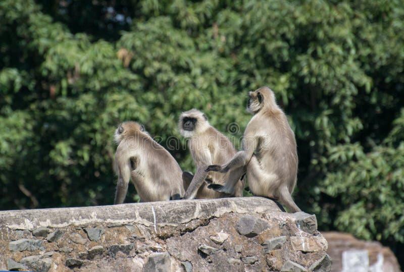 Γκρίζα langurs ή συνεδρίαση Hanuman langurs στη έπαλξη στοκ εικόνα με δικαίωμα ελεύθερης χρήσης