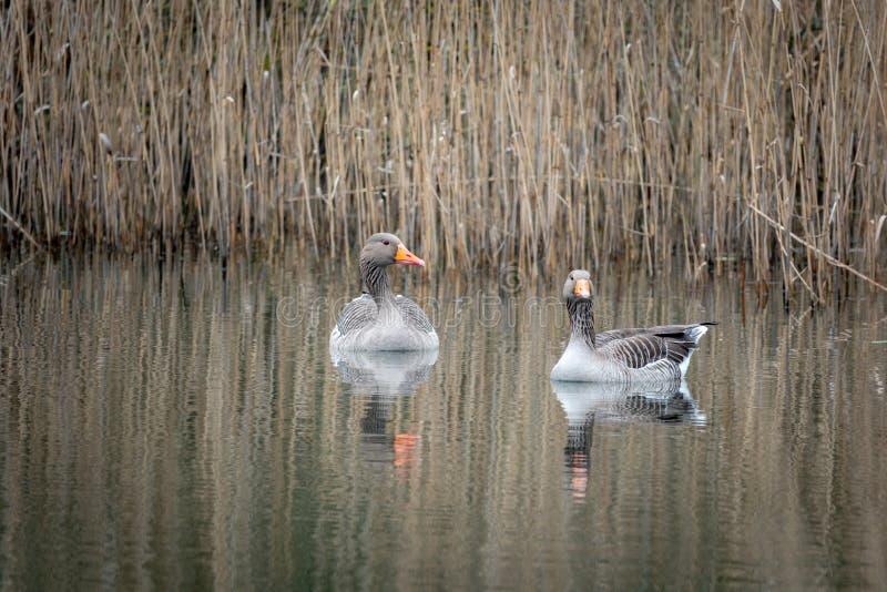 2 γκρίζες χήνες που κολυμπούν σε μια λίμνη στοκ εικόνες