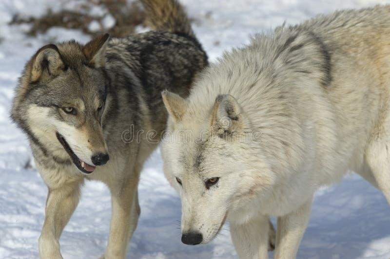 γκρίζοι λύκοι στοκ φωτογραφία με δικαίωμα ελεύθερης χρήσης