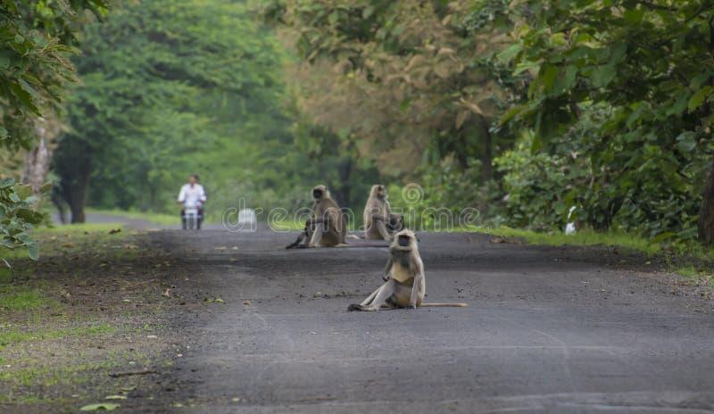 Γκρίζοι πίθηκοι Langur στοκ εικόνα