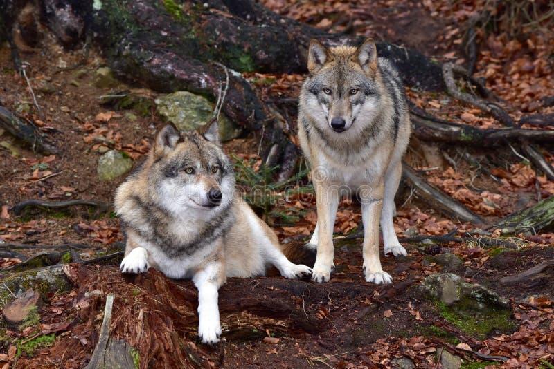 γκρίζοι λύκοι στοκ εικόνα