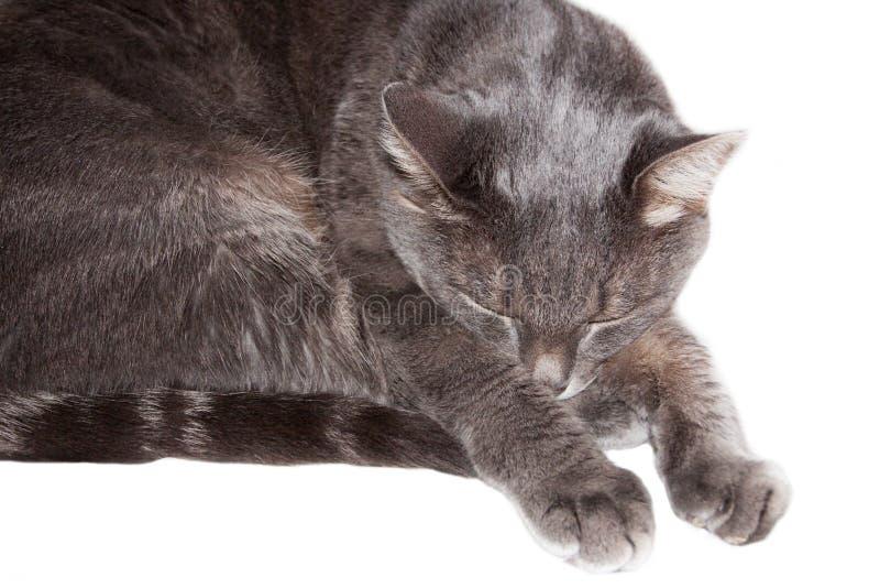 Γκρίζοι ύπνοι γατών στοκ φωτογραφία