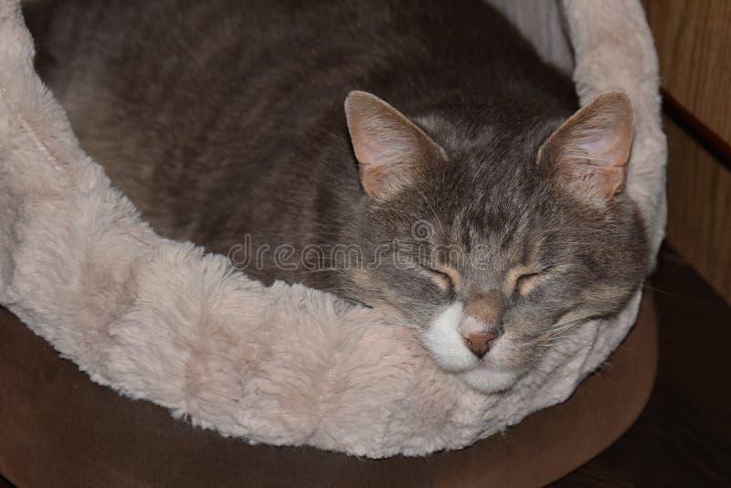 Γκρίζοι ύπνοι εγχώριων γατών στο μαλακό άνετο κρεβάτι του στοκ εικόνα