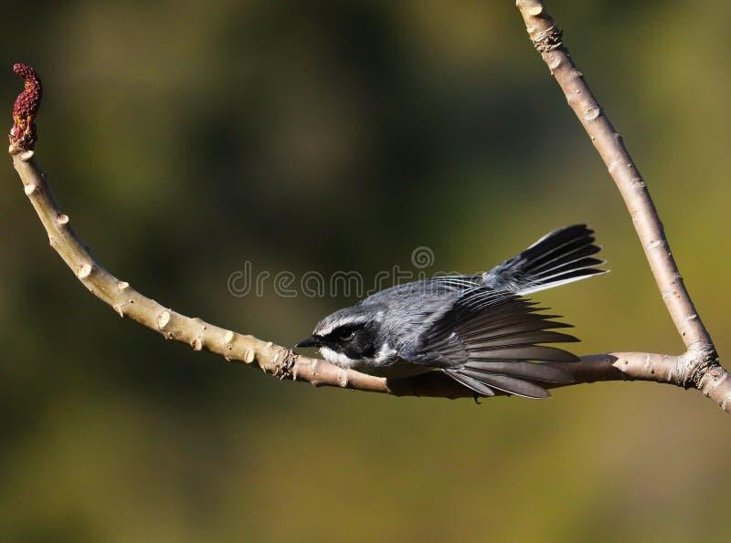 Γκρίζος αρσενικός έτοιμος Bushchat να πετάξει στοκ φωτογραφία