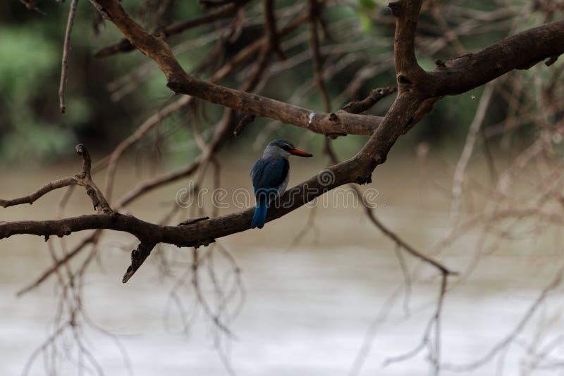 Γκρίζος-διευθυνμένο γαλήνιο leucocephala αλκυόνων σε ένα δέντρο στοκ φωτογραφία με δικαίωμα ελεύθερης χρήσης