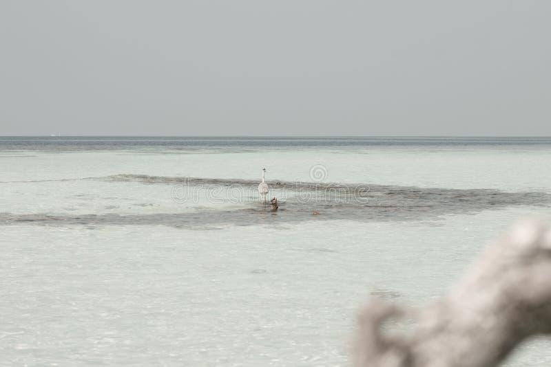 γκρίζος ερωδιός επάνω από την κοραλλιογενή ύφαλο στις Μαλδίβες στοκ εικόνες