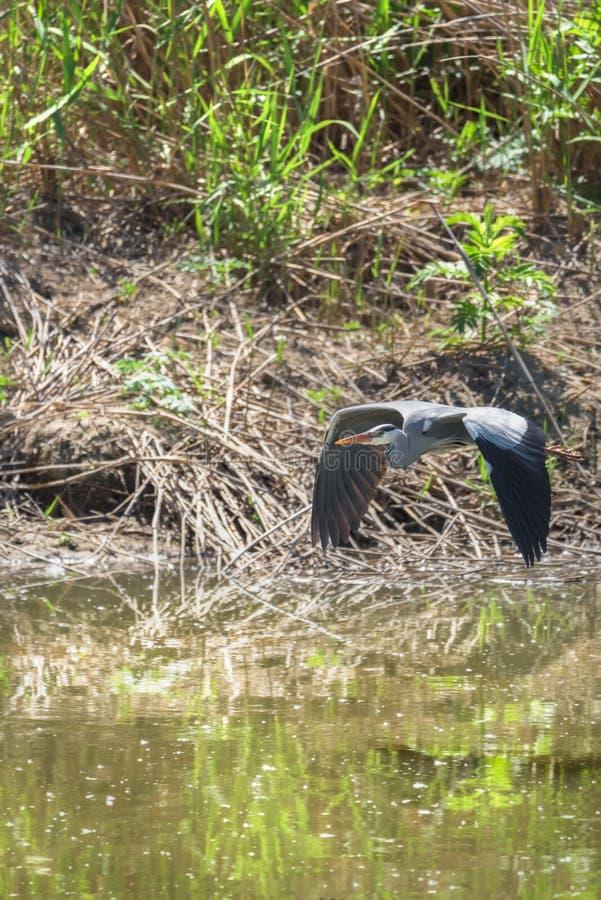 Γκρίζος ερωδιός που πετά πέρα από τον ποταμό στοκ εικόνες
