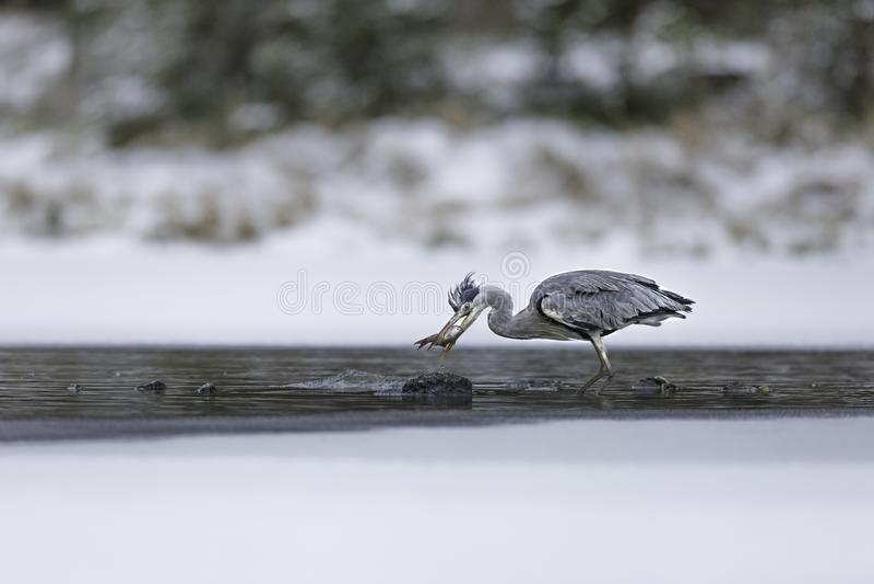 Γκρίζος ερωδιός που πιάνει ένα ψάρι στη λίμνη κατά τη διάρκεια του χειμώνα στοκ φωτογραφία