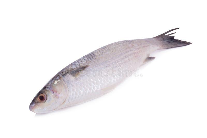 Γκρίζος κέφαλος ή flathead ψάρια κεφάλων (Mugil cephalus) επάνω στοκ εικόνα