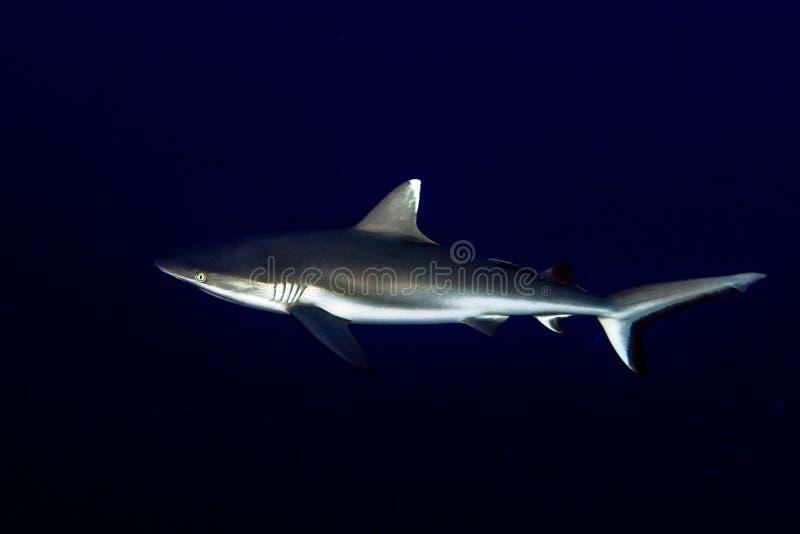 Γκρίζος καρχαρίας έτοιμος να επιτεθεί σε υποβρύχιο στο μπλε στοκ φωτογραφία