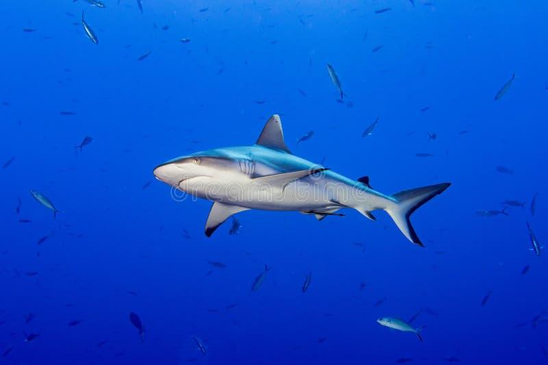 Γκρίζος καρχαρίας έτοιμος να επιτεθεί σε υποβρύχιο στοκ εικόνα με δικαίωμα ελεύθερης χρήσης