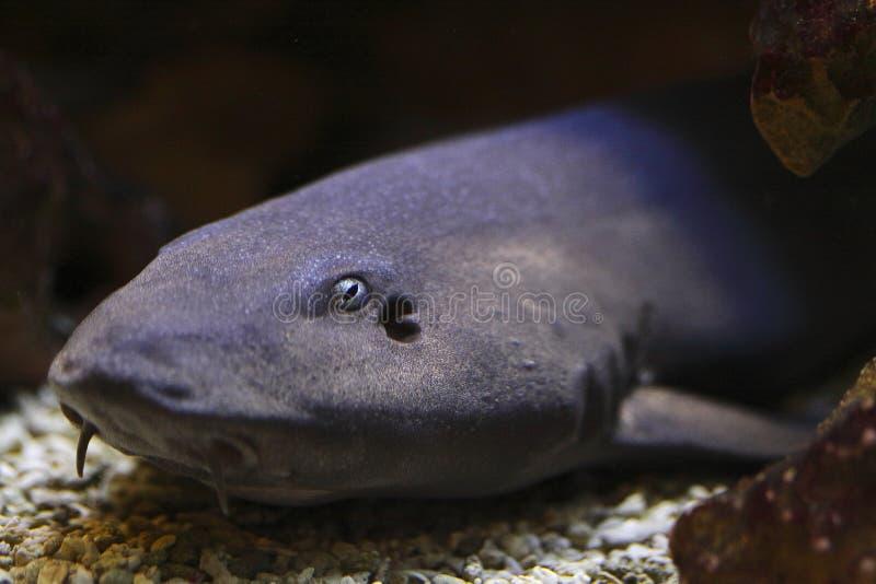 γκρίζος καρχαρίας μπαμπού στοκ φωτογραφίες