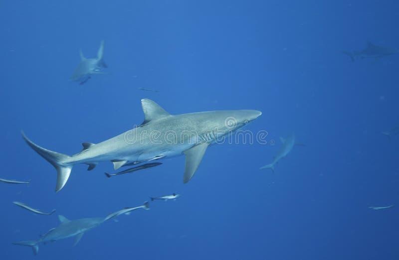 γκρίζος καρχαρίας σκοπέ&lamb στοκ φωτογραφίες με δικαίωμα ελεύθερης χρήσης