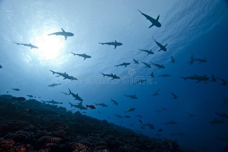γκρίζος καρχαρίας carcharhinus amblyrhinchos στοκ εικόνες