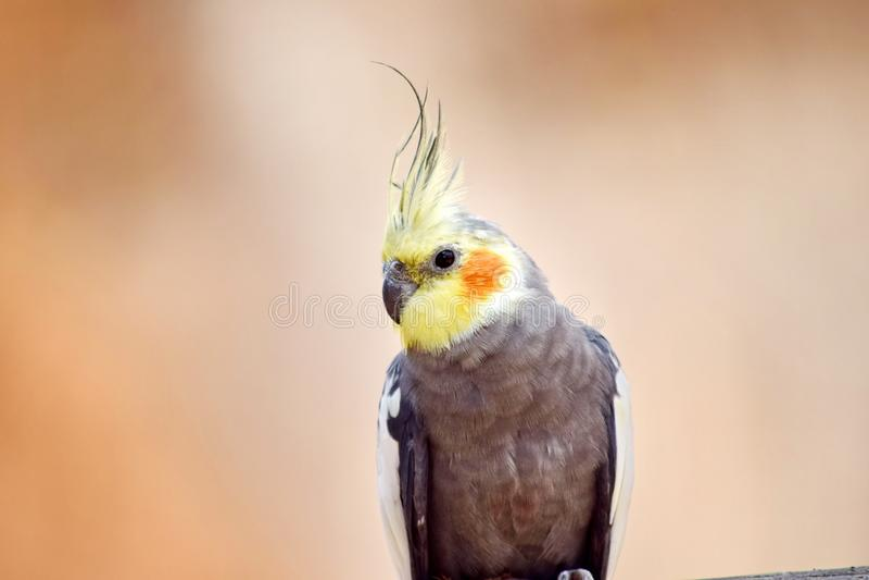 Γκρίζος κλάδος Cockatiel Nymphicus Hollandicuson στοκ εικόνα