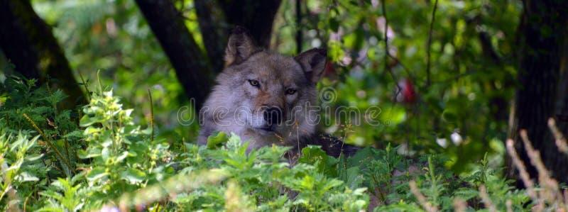 Γκρίζος λύκος ή γκρίζο lupu Canis λύκων στοκ εικόνα με δικαίωμα ελεύθερης χρήσης