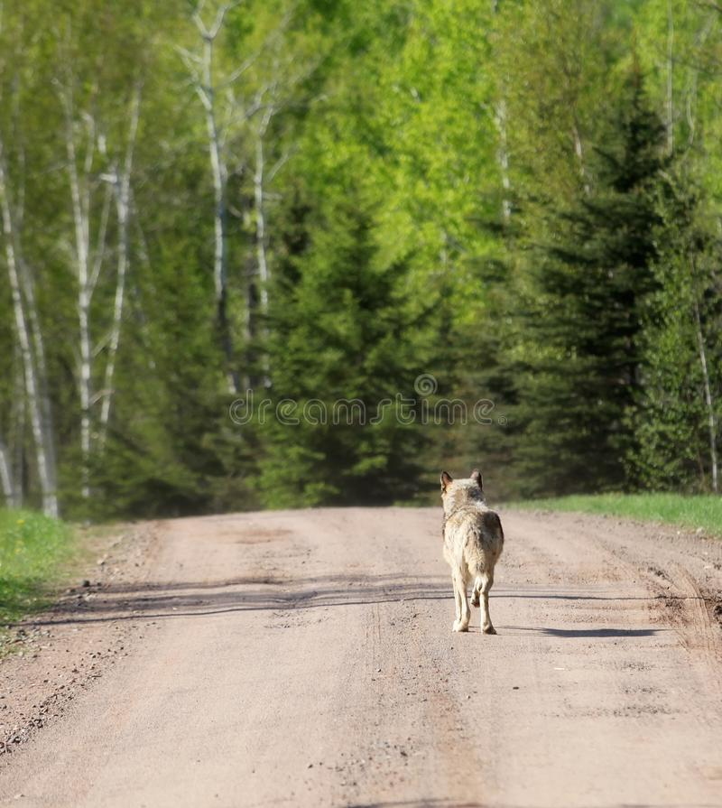Γκρίζος λύκος που περπατά κάτω από το βρώμικο δρόμο στοκ εικόνες