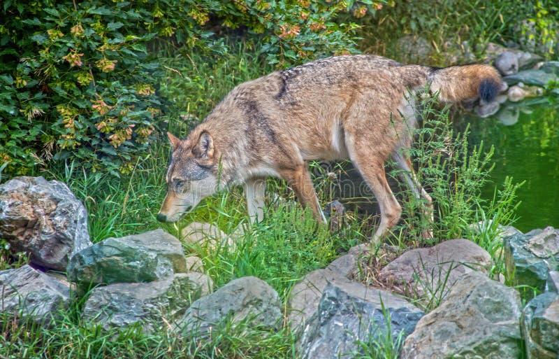 Γκρίζος λύκος που ρουθουνίζει γύρω από μερικούς βράχους στοκ φωτογραφία με δικαίωμα ελεύθερης χρήσης